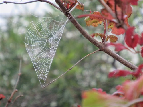 Foggy Autumn Morning Sonya Heaney Cobweb Canberra Australia Autumn Leaves Autumn Colours Garden Nature Spider Web 6th May 2020