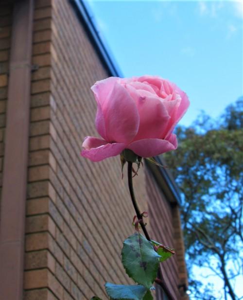 Pink Rose Blue Sky Canberra Australia Sonya Heaney 20th June 2020