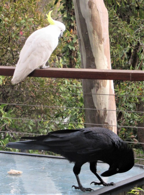 Sulphur-Crested Cockatoo and Australia Raven Canberra Birds Sonya Heaney 24th June 2020