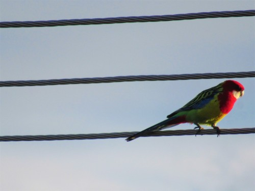 Eastern Rosella Canberra Australia Bird Sonya Heaney 1st July 2020 Parrot Nature 1