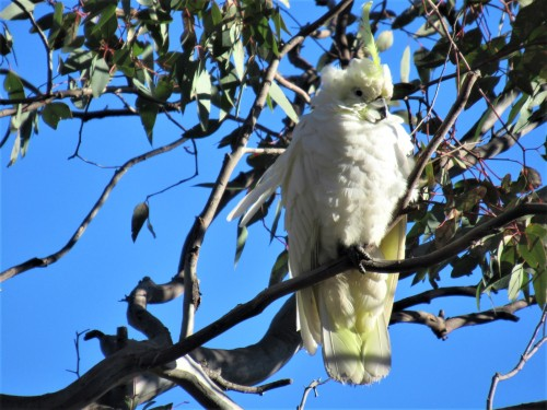 Sulphur-Crested Cockatoo Canberra Australia Sonya Heaney 29-7-2020 When you're a bit old and a bit scruffy, but you still have one excellent head feather. .