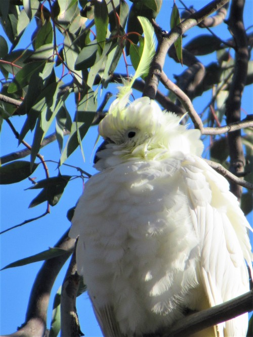Sulphur-Crested Cockatoo Canberra Australia Sonya Heaney 29-7-2020 When you're a bit old and a bit scruffy, but you still have one excellent head feather.